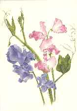 spencer sweet pea greeting card